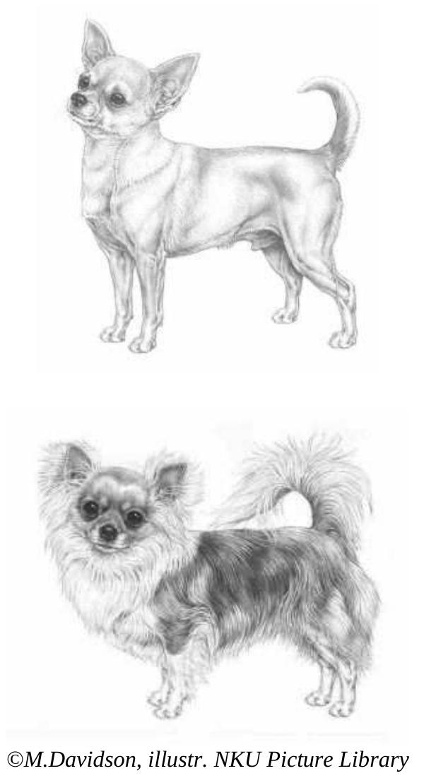 Chihuahua anatomy diagram