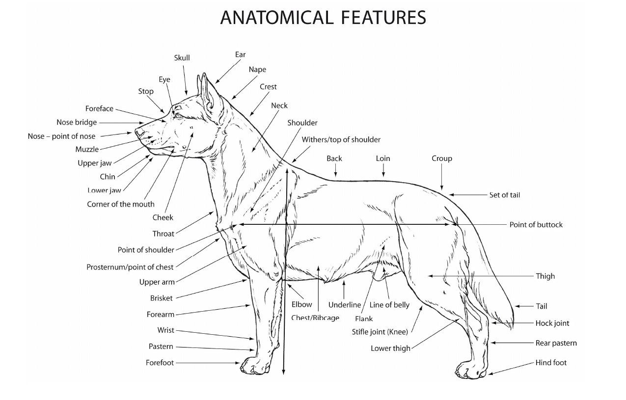 Chihuahua breed standard happy fantasy anatomical features pooptronica